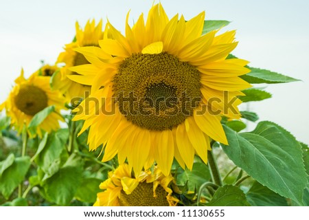 Sun flower with ready seeds to food prepare