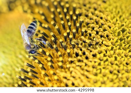 Sun-flowers and bee - stock photo