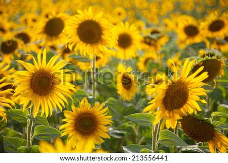Sun flowers field  - stock photo