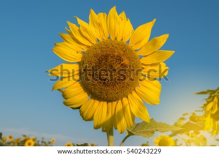 Sun Flowers Field in plant with sunrise and blue sky background.