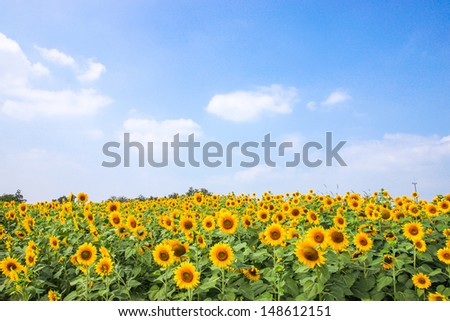 sun flowers field in Thailand. sunflowers. - stock photo