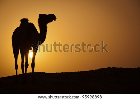 Sun going down in a hot desert: silhouette of a wild camel at sunset
