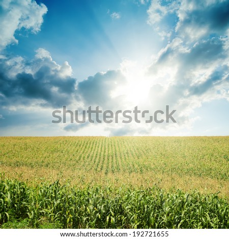sun in darken low clouds over field with green maize - stock photo