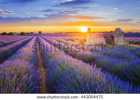 Sun is setting over a beautiful purple lavender filed in Valensole. Provence, France