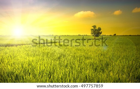 Sun light shade on the rice field in Thailand for background use.