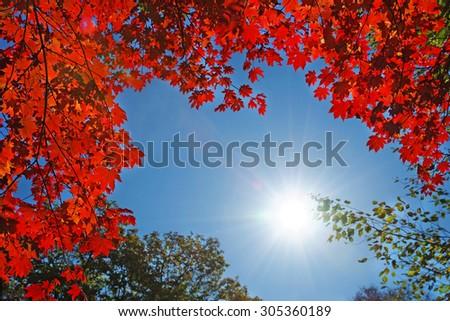 sun light through the red fall maple foliage - stock photo