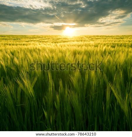 Sun over green wheat field. - stock photo