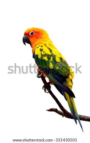 Sun Parakeet or Sun Conure, the beautiful yellow and orange parrot bird perching on the branchwith nice feathers details isolated on white background - stock photo