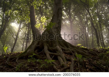 sun rays and old tree with twisted roots in a misty forest