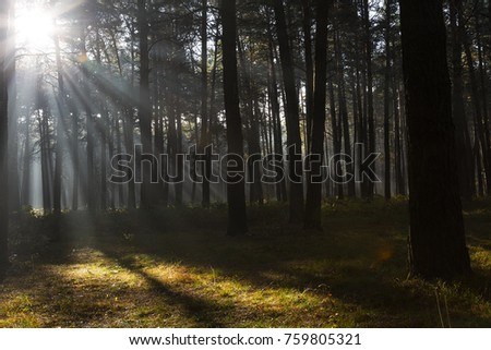 Sun rays breaking through trees in a pine forest. Autumn. Dawn.