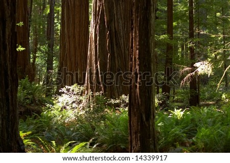 Sun rays casting in a sequoia tree forest - stock photo