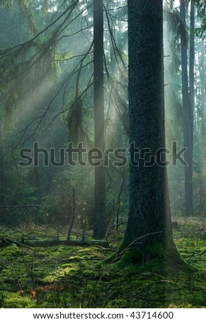 Sun rays entering autumnal misty forest at morning with spruce trunk in foreground
