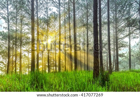 Sun rays in pine forest with early morning dew, ray beam shines through pine trees on lawn sunlight beneath shimmering fanciful. Dreamy setting for a new day more vitality - stock photo