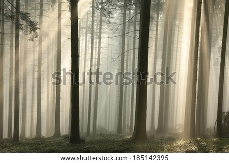 Sun rays pass through trees in a coniferous forest in the morning. - stock photo