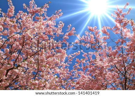 Sun rays shine through Japanese cherry blossom trees - stock photo