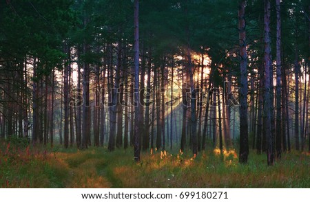 Sun rays shining through the trees to the path and grass in the summer pine forest. Selective focus.