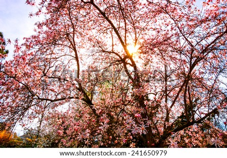 Sun rays through Magnolia tree in blossom in the park. - stock photo