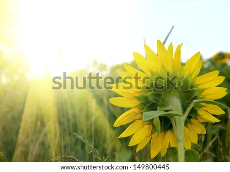 Sun rise over sunflowers field - stock photo