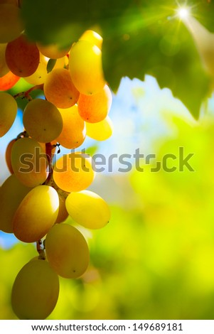 Sun Setting on beautiful Red Grapes - stock photo
