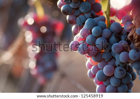 Sun Setting on Red Grapes