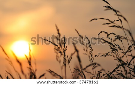 sun setting/rising with wheat stalks in the foreground with shallow DOF - stock photo