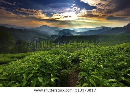 Sun shining over tea garden - stock photo
