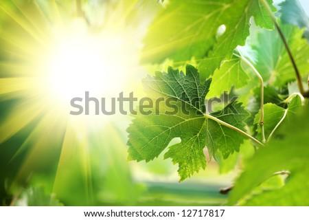 Sun shining through grapevine leaves, close-up - stock photo