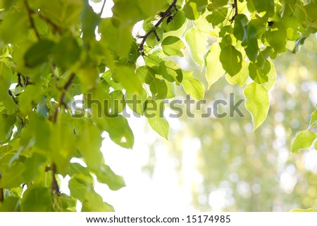 Sun shining through pear-tree leafs - stock photo