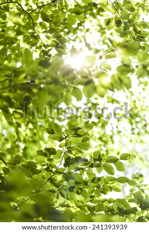 Sun shining through the green leaves of the canopy of a tall deciduous tree outdoors in woodland in a nature, eco and environmental concept - stock photo