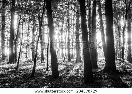 Sun shining through tree trunks-black and white photo - stock photo