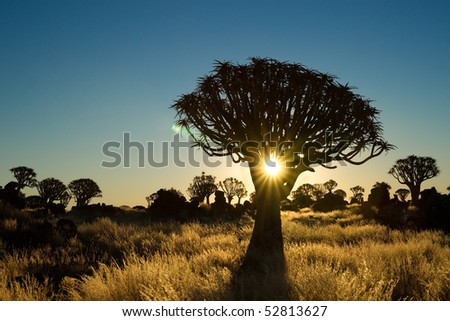 Sun shining trough a quiver tree - stock photo
