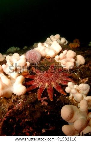Sun star starfish on Scottish reef - stock photo