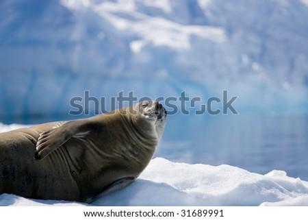 sunbathing seal on ice - stock photo