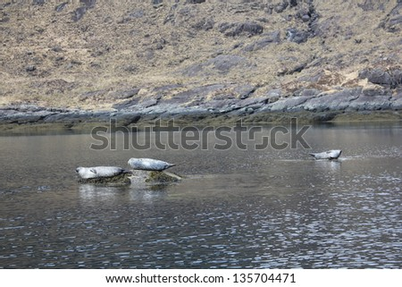 sunbathing seals in scotland - stock photo
