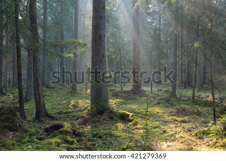 Sunbeam entering coniferous stand in misty morning,BIalowieza Forest,Poland,Europe - stock photo