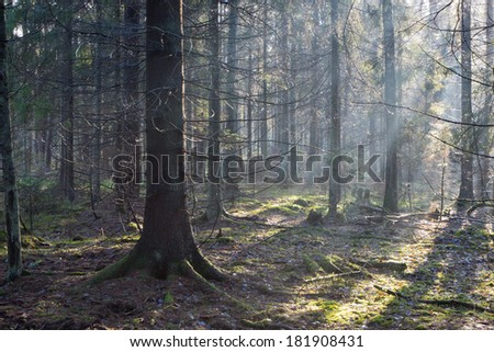 Sunbeam entering coniferous stand in misty morning with old spruce tree in foreground - stock photo
