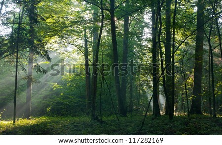 Sunbeam entering rich deciduous forest in misty morning with old hornbeam trees in foreground - stock photo