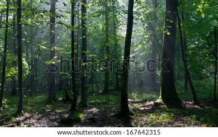 Sunbeam entering rich deciduous forest misty morning with old alder trees in foreground - stock photo