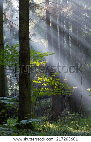 Sunbeam entering rich mixed forest in morning with broken spruces in foreground - stock photo