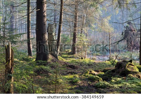Sunbeam entering swampy coniferous forest misty morning with old spruce and pine trees,Bialowieza Forest,Poland,Europe - stock photo