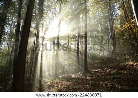 Sunbeams enter the misty autumn forest at dawn.