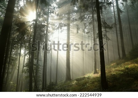 Sunbeams enter the misty coniferous forest at dawn. - stock photo