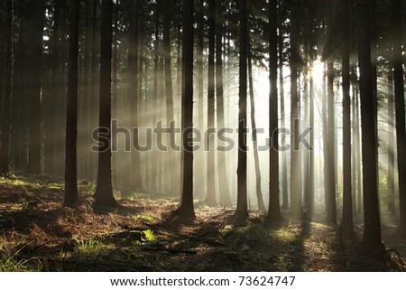 Sunbeams entering coniferous forest on a misty autumnal morning. - stock photo