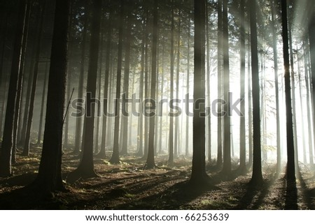 Sunbeams entering coniferous stand on a misty autumnal morning. - stock photo