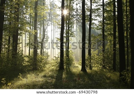 Sunbeams entering the deciduous forest on a misty spring morning. - stock photo