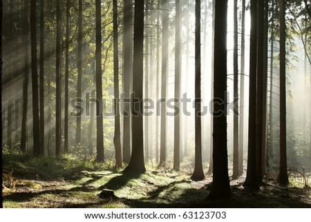 Sunbeams enters the coniferous forest on a misty autumn morning. - stock photo