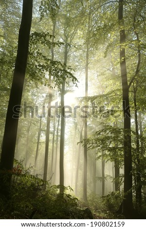 Sunbeams fall into the spring forest on a misty morning. - stock photo