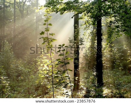 Sunbeams falls into misty autumn forest with maple branches in the foreground. - stock photo