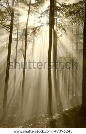 Sunbeams falls into the misty autumnal woods with majestic beech trees. - stock photo
