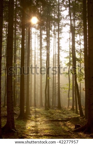Sunbeams falls into the misty coniferous forest at the beginning of autumn. - stock photo